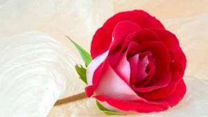 rosas 14