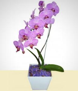 orquidea lindo pique